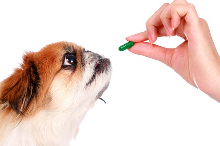 Dog and hand with pill isolated over white.