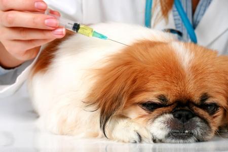 vacunaci�n: Perro Healthcare: vacunaci�n. Aislados sobre fondo blanco.