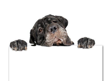 neapolitan: Dog and cardboard isolated over white.