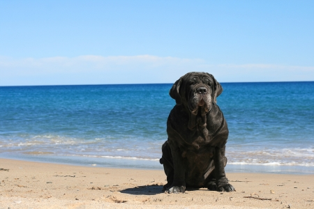 neapolitan: Neapolitan mastiff is sitting on the beach. Stock Photo