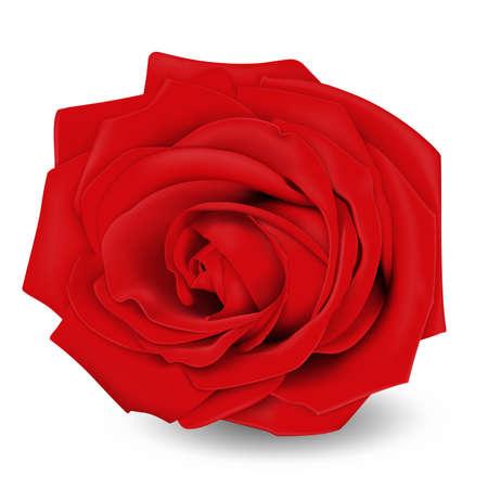 Rosa rossa. Fiore. Illustrazione vettoriale realistico. Isolato su bianco.