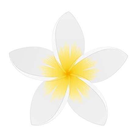 White plumeria. Tropical flower. Isolated on white. Vector illustration.