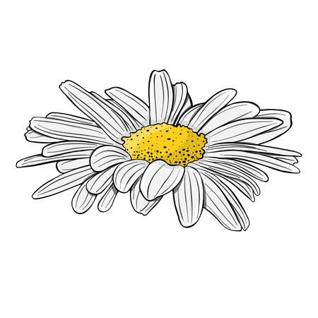 Chamomile flower. Isolated on white background. Hand drawn vector illustration. 写真素材 - 146522254