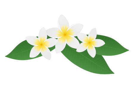 Plumeria frangipani flowers with green leaves. Tropical flower. Isolated on white background. Vector illustration.