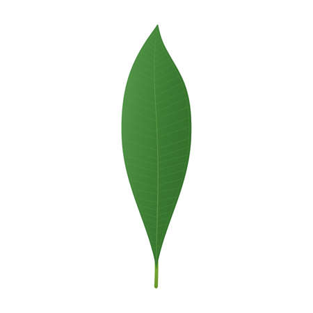 Plumeria or frangipani leaf. Tropical green leaf isolated on white background. Vector illustration. 写真素材 - 147997176
