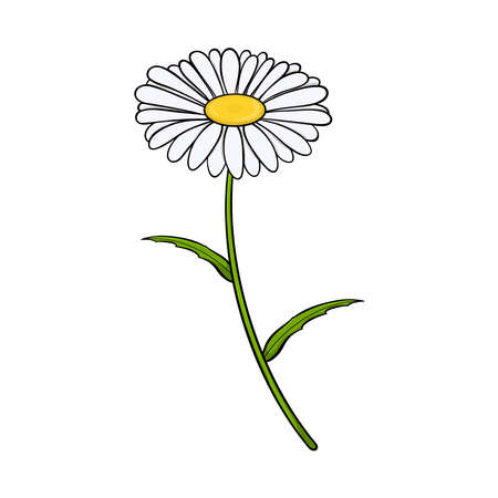 Chamomile flower. Isolated on white background. Vector illustration. 写真素材 - 149571189