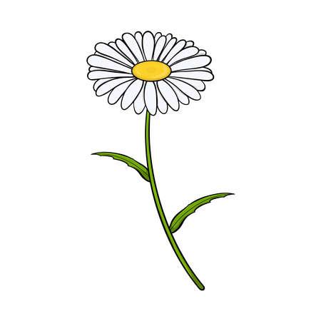 Chamomile flower. Isolated on white background. Vector illustration.