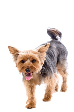 Cute little yorkshire terrier walking towards the camera with an alert expression and panting with its tongue out, isolated on white with copyspace