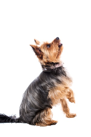 Little yorkshire terrier waiting for food sitting with one paw raised and an intent expression as it watches the treats, side view isolated on white Foto de archivo