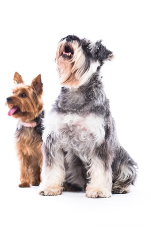 rewarded: Two adorable obedient dogs, a schnauzer and yorkshire terrier, sitting side by side waiting patiently to be rewarded with a treat for their obedience, isolated on white