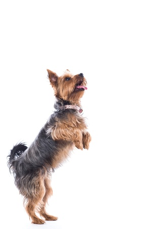 Cute little dog, a small Yorkshire terrier, standing on his hand legs begging for treats with his tongue out in anticipation, isolated on white