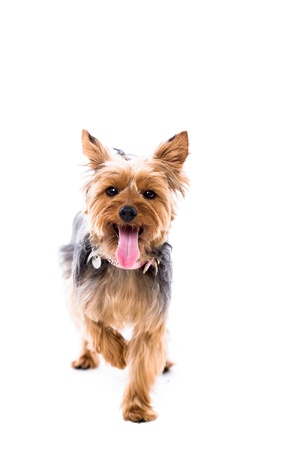 yorkie: Alert little Yorkie, or Yorkshire terrier, standing facing the camera with one paw raised in the air and its tongue hanging out panting, isolated on white