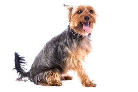 Pretty little Yorkshire terrier sitting sideways turning to look at the camera, isolated on white