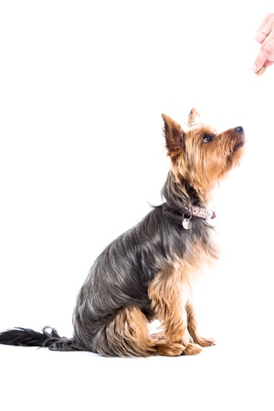 Yorkshire terrier waiting for treats sitting with its eyes fastened on the hand of its owner during obedience training, side view isolated on white 스톡 콘텐츠