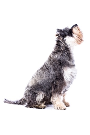 Side view of an adult schnauzer dog sitting looking up intently watching for a treat during training isolated on white with copyspace