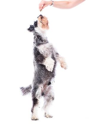 rewarded: Schnauzer siendo recompensado con una golosina de pie sobre sus patas traseras para alcanzar la mano de su propietario sosteni�ndolo en el aire, aislado en blanco Foto de archivo