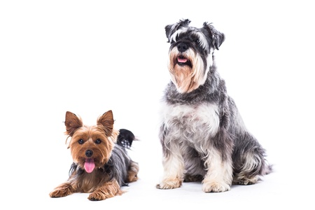 Two adorable alert loyal family dogs, a Yorkshire terrier and a schnauzer, sitting together looking at the camera, isolated on white with copyspace