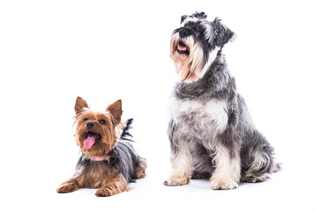 Two obedient dogs, a Yorkshire terrier and schnauzer, sitting to command with their attention fixed on their owner, isolated on white Foto de archivo
