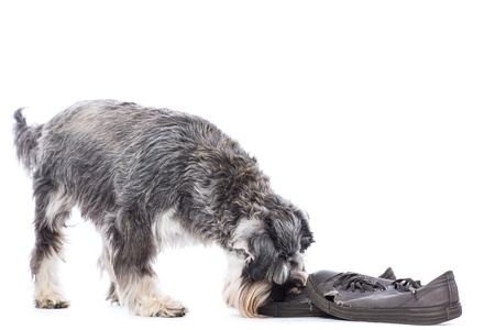 chew over: Schnauzer investigating a pair of old shoes left down on the floor nuzzling it with his nose as he decides whether or not to chew them, over white