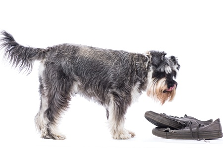 chew over: Schnauzer standing in profile over a pair of old shoes left as an enticing toy to chew, isolated on white Stock Photo