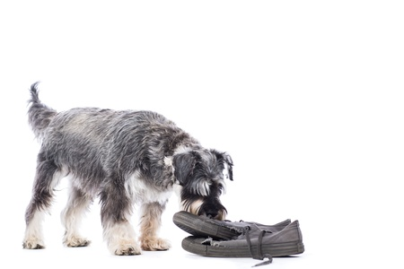 Schnauzer investigating an old pair of shoes standing sniffing them out of curiosity, isolated on white