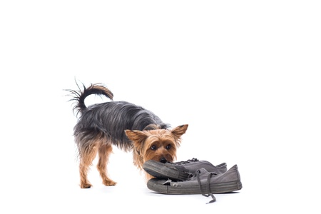 Little Yorkshire terrier chewing on old shoes left out on the floor for it to play pulling at them with its mouth isolated on white
