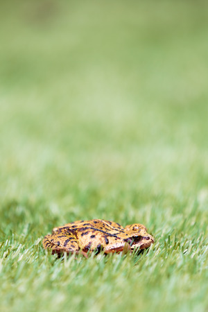 semi aquatic: Side Profile View of Common Frog in Grass with Selective Focus and Copyspace Above