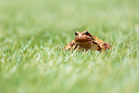 semi aquatic: Front View of Common Frog in Grass with Selective Focus