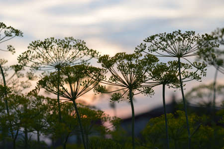 dill: Dill at sunset Stock Photo
