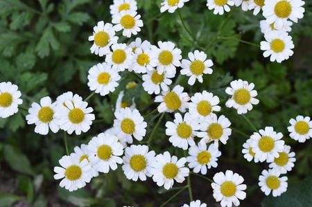 white daisies: white daisies on a green background