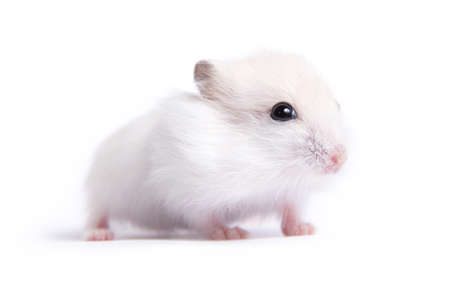 Portret van een kleine hamster op een geïsoleerde achtergrond
