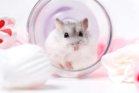 Jungar hamster in an inverted glass Stock Photo