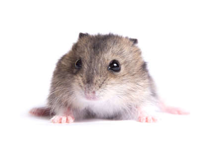 Portrait of a little hamster on an isolated background