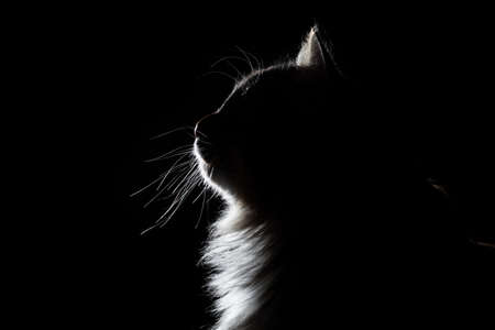 outline silhouette portrait of beautiful fluffy cat on a black background
