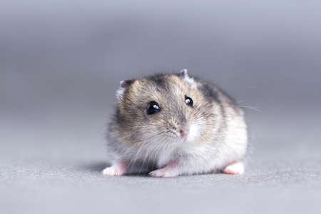 Portret van een kleine hamster op grijze achtergrond Stockfoto