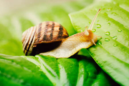 snail is climbing from a leaf to a leaf in drops of dew