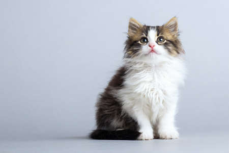portrait of a small fluffy kitten looking up on a gray studio background Stok Fotoğraf