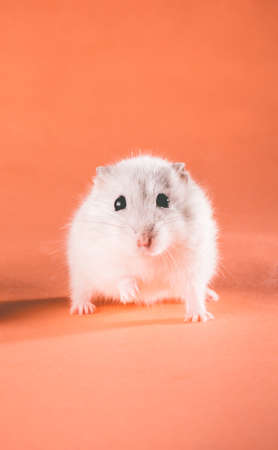 photo cute Jungar hamster walking forward on a colored background