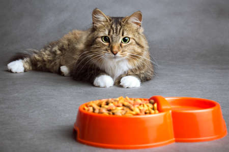 Portrait of a beautiful fluffy domestic cat that looks with interest at the bowl full of dry food on a gray background Standard-Bild