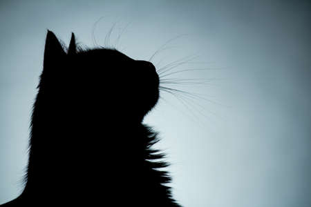 Silhouette of head of fluffy cat with beautiful whiskers, dark blue background, icon