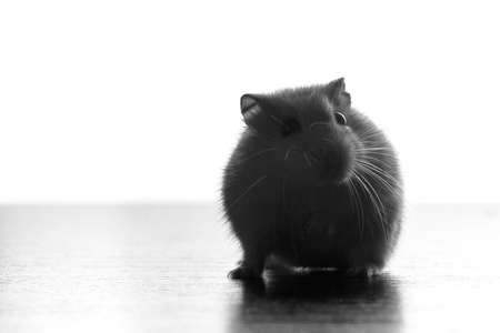 black and white silhouette of a cute little home mouse on the table