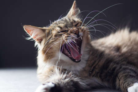cat just waking up and yawning mouth open and teeth showing Stok Fotoğraf