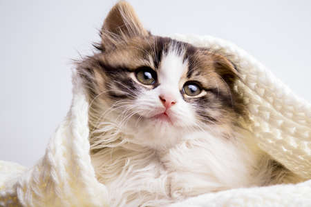 portrait of a small fluffy kitten hiding and peering out of a knitted plaid on a gray studio background