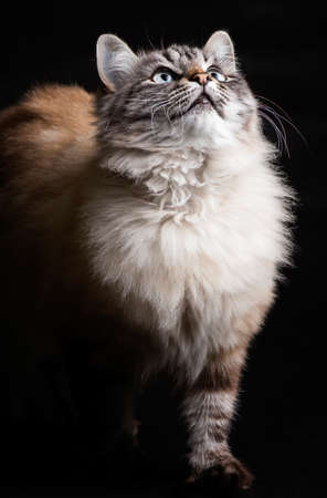photo beautiful cat on a black background in the step of looking up Stok Fotoğraf