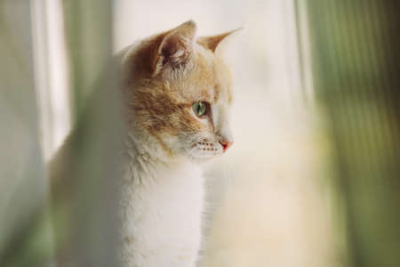 Portrait of a red-haired kitten sitting on a windowsill on a sunny day behind curtains