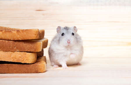 small Jungar hamster near the bread toasts