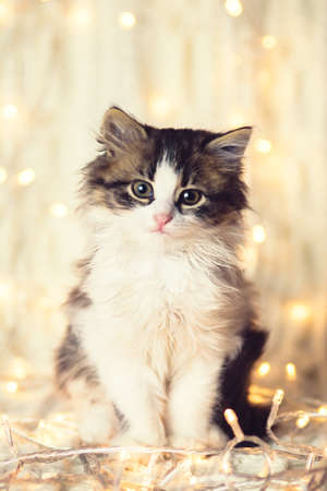 winter portrait of a small cute kitten on a knitted warm blanket in the glowing lights of a garland