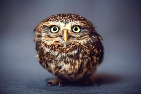 Portrait of a young wild owl-a representative of wildlife and a predator on the background