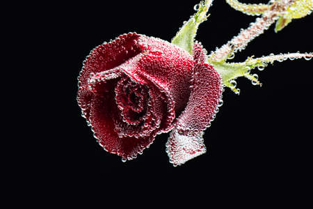 Photo of fresh red rose flower on a black background covered with water bubbles with place for your text Stok Fotoğraf