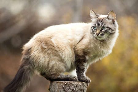 Siamese cat sitting on a tree stump
